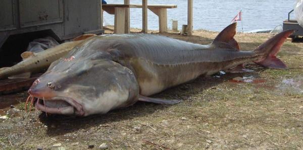 Confine con la russia, il pesce d'acqua dolce più grande del mondo