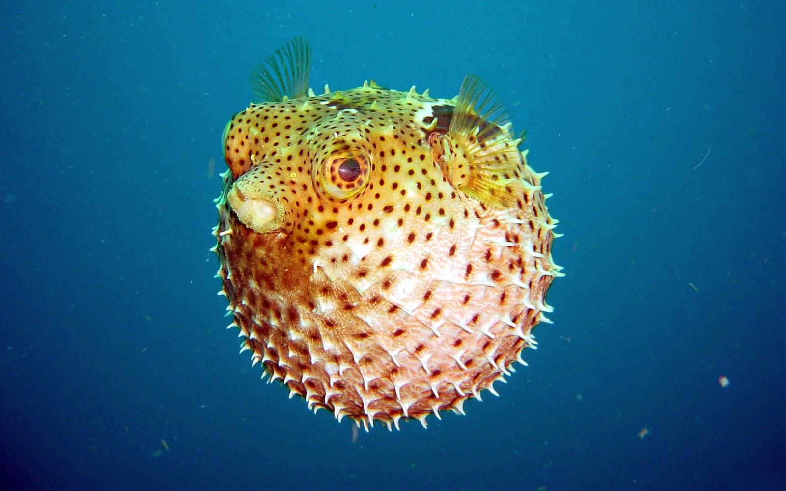 Animali tossici i pesci sono i pi pericolosi idea pesce - Pesci piu comuni in tavola ...